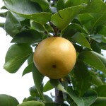 asianpearontree